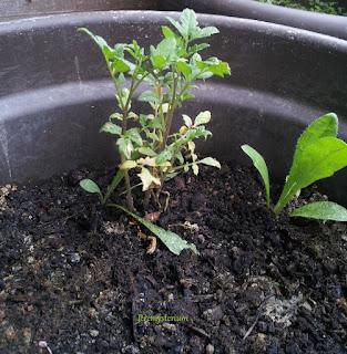 Jeune pousse de tomate sauvage