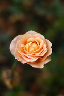 róża w parku
