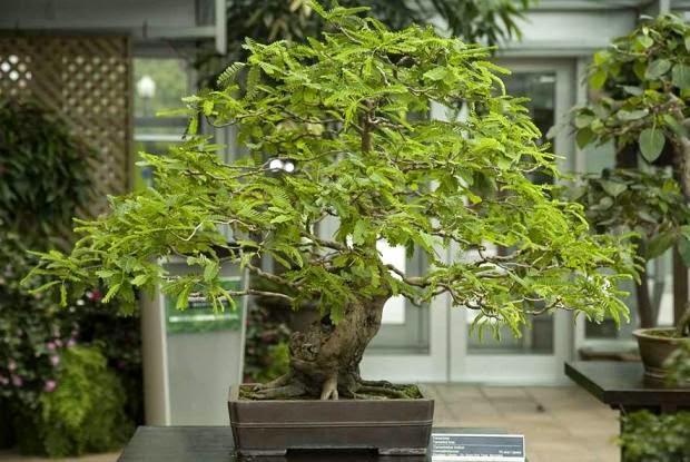 Tamarindo tamarindus indica sementes fruta p bonsai e mudas r 9 99 em mercado livre - Comment s occuper d un bonsai ...