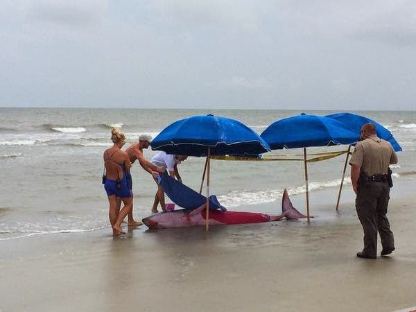 Beached Whale Euthanized Following Possible Shark Predation Off South Carolina Beach