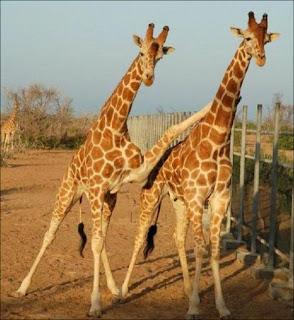 Wit giraffe
