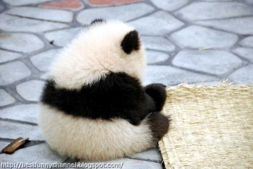 panda bears pictures 40