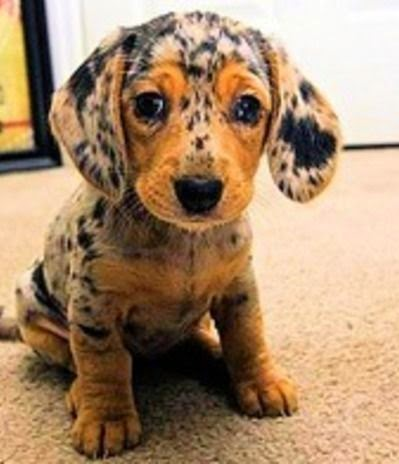 Cute Baby Dapple Apple Dachsund Puppy