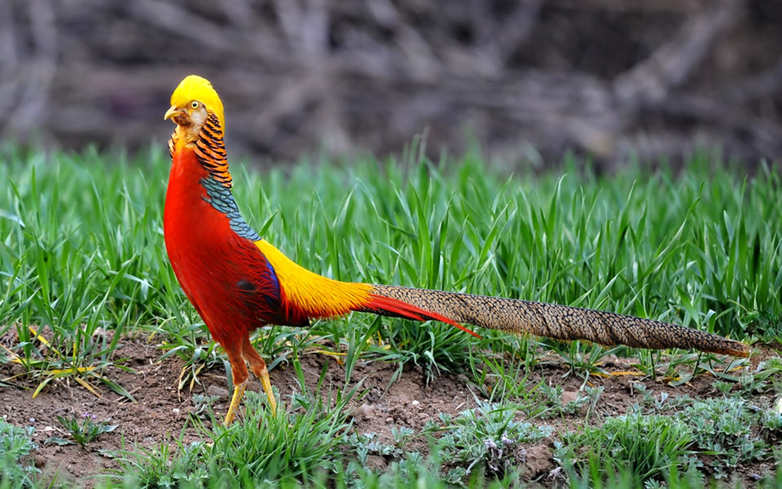 Golden Pheasant Birds HD Wallpapers