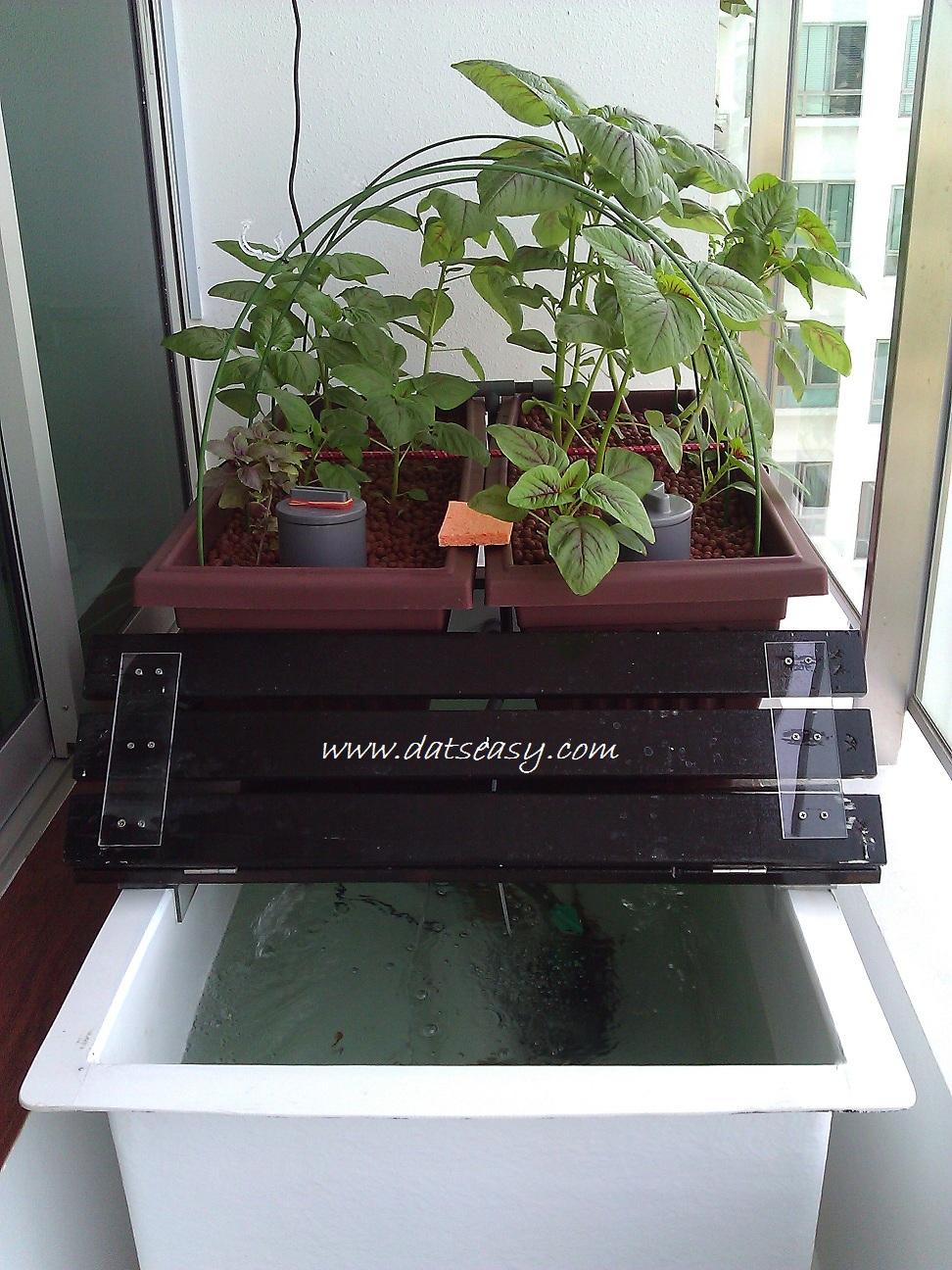 Datseasy my project aquaponics setup at balcony for Balcony aquaponics