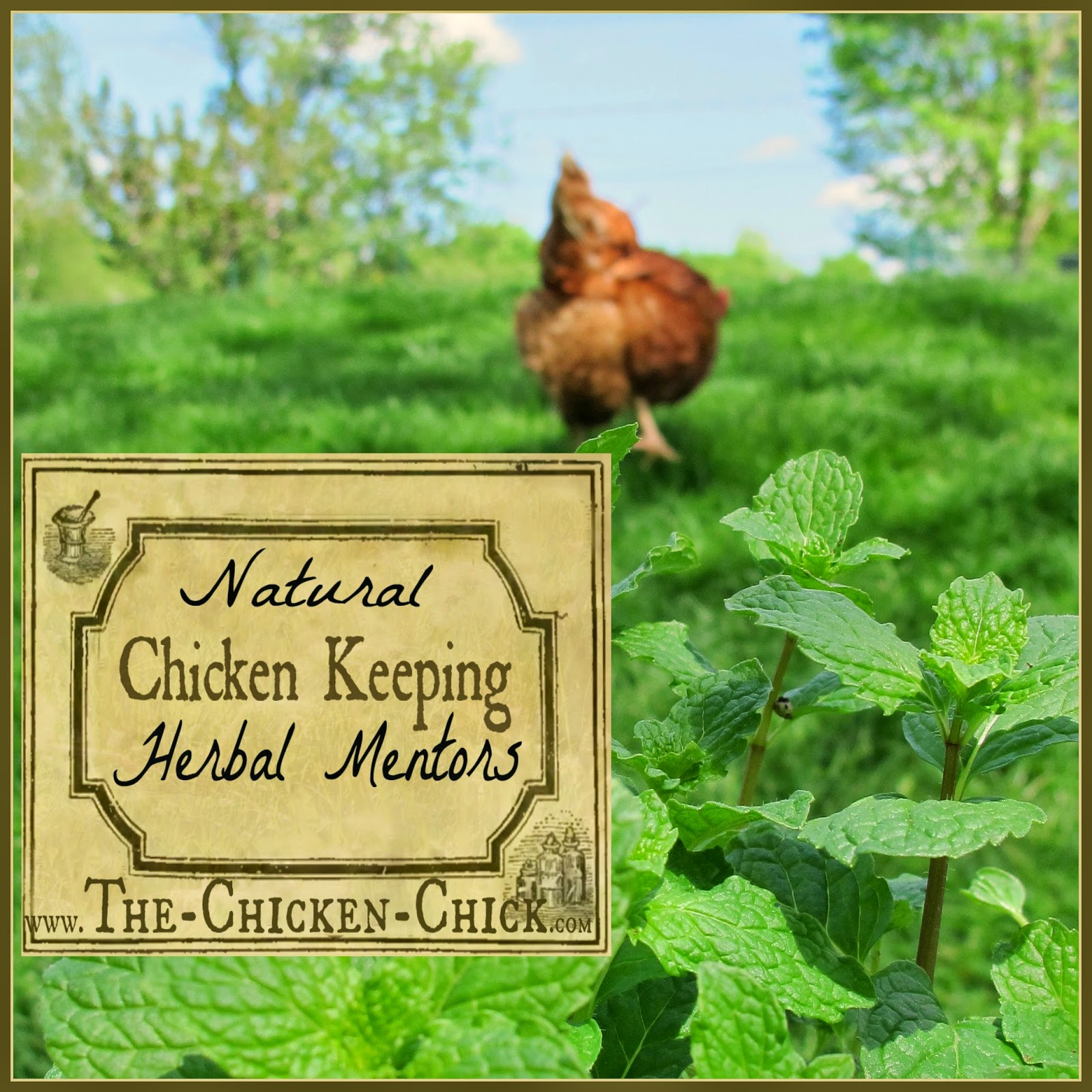 "Learn to identify qualified natural chicken keeping mentors in order to care for your chickens properly while saving time and money on herbal routines and ""remedies"" that will not help chickens and that could hurt them."