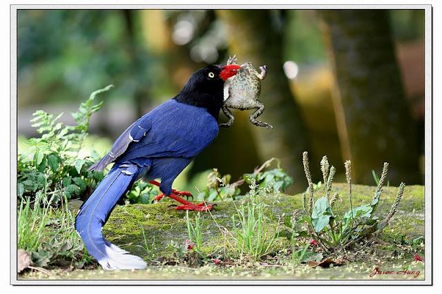 台灣國寶藍鵲 - 亮麗 - 亮麗的博客