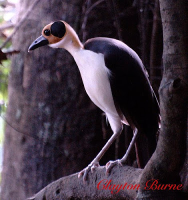 White Necked Rockfowl Bird 4