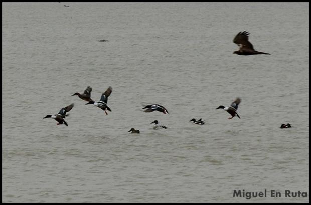 Aves-Laguna-de-Manjavacas