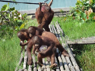 Baby orangutans with ice block