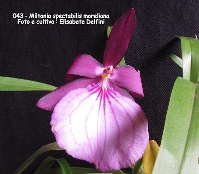 Miltonia spectabilis var. moreliana do blogdabeteorquideas