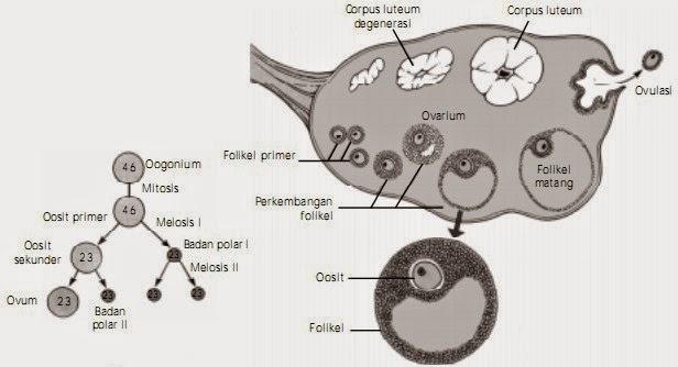 Proses oogenesis di ovarium