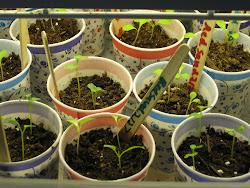 Caring for Seedlings