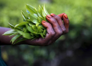 Freshly plucked tea leaves