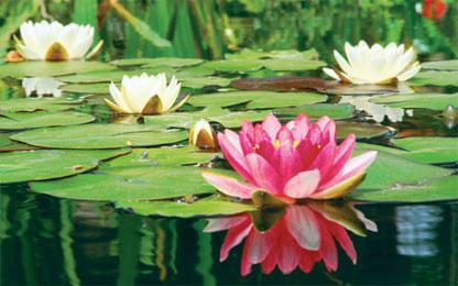 Ornamental plants ornamental plants for Ornamental pond plants