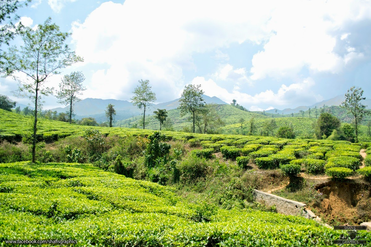 wayanad tea estate
