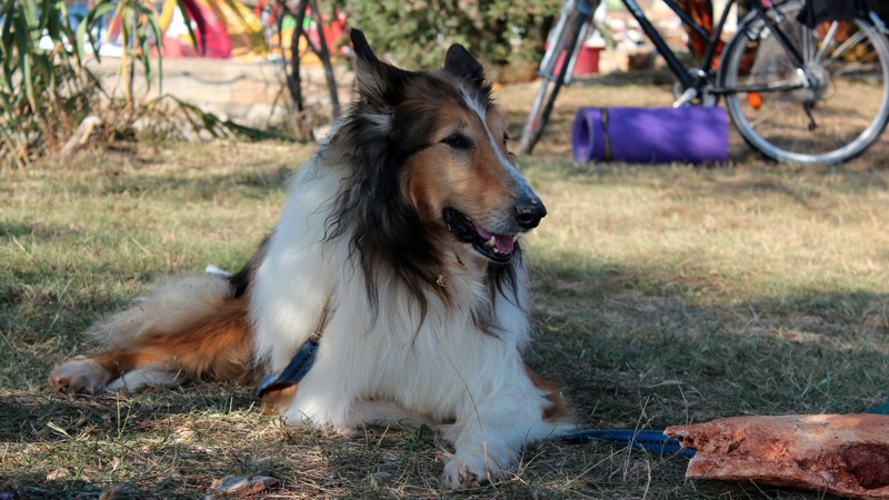 rough collie, cane, dog, lassie