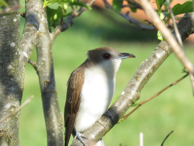 BLACK BILLED CUCKOO-BAYHEAD-NORTH UIST-OUTER HEBRIDES-23RD MAY 2016
