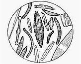 Kiezelwieren onder het microscoop, circa 1000x vergroot. Bron: http://www.diatom.nl/Nederlands/Diatomeeen/Toepassingen.html