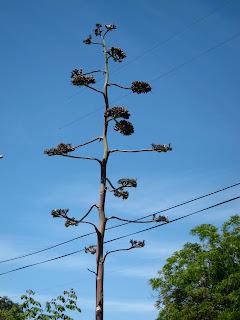 Agave flowering stalk.