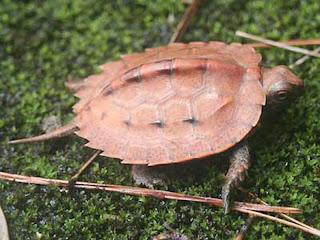 ryukyu leaf turtle