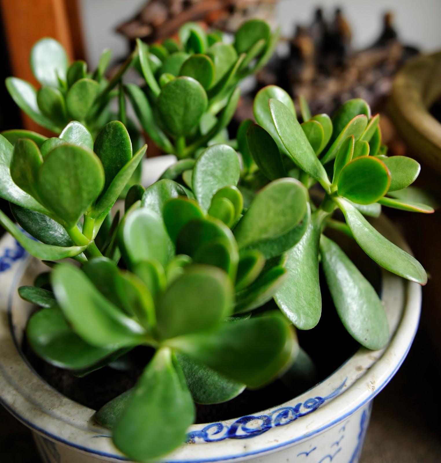 Plantas que atraen la riqueza en feng shui asesores feng for Planta del dinero feng shui