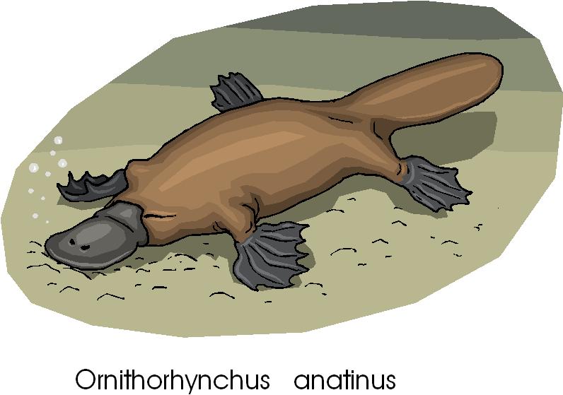 Platypus Rare Animal Free Clipart