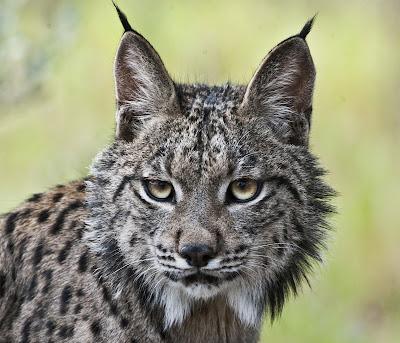 http://www.europapress.es/sociedad/noticia-especies-peligro-extincion-espana-20140521155135.html