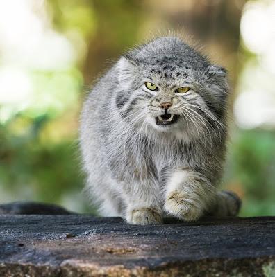 Gato montés en su hábitat natural
