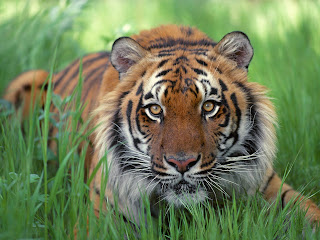 Tiger Wallpapers HD