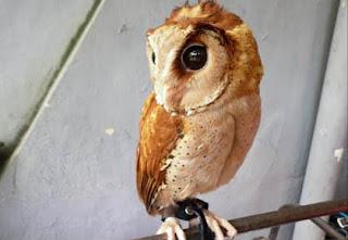 Foto Oriental Bay Owl