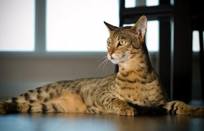 Mèo Ashera