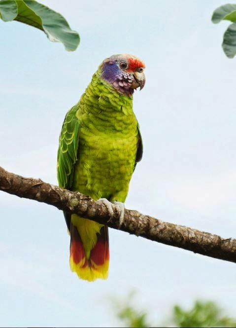 papagaio-de-cara-roxa-Amazona-brasiliensis-wikiaves