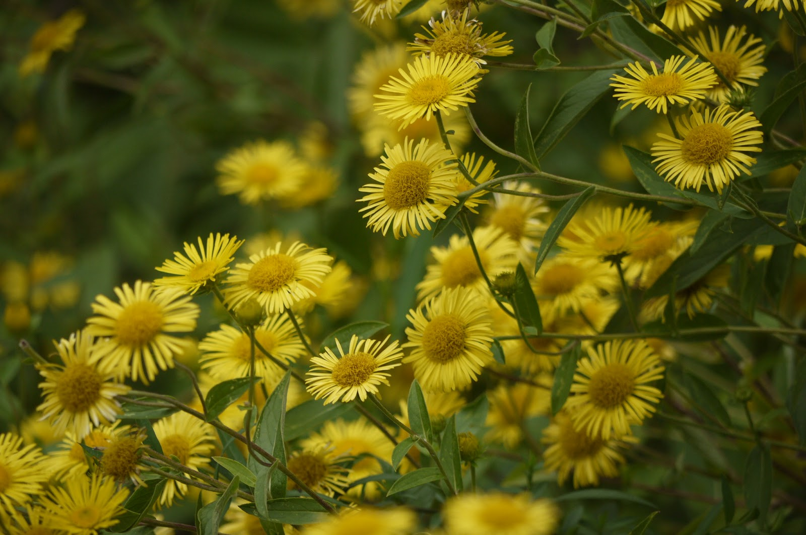 Stardust Explosions Photography Stock Yellow Daisies Flowers In