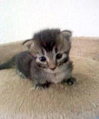 Munchkin Cat - Cat-Dachshund Munchkin Cat - Cat-Dachshund