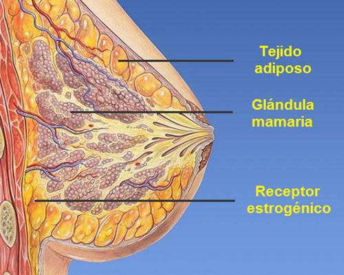 Hormonas femeninas en el aumento de senos