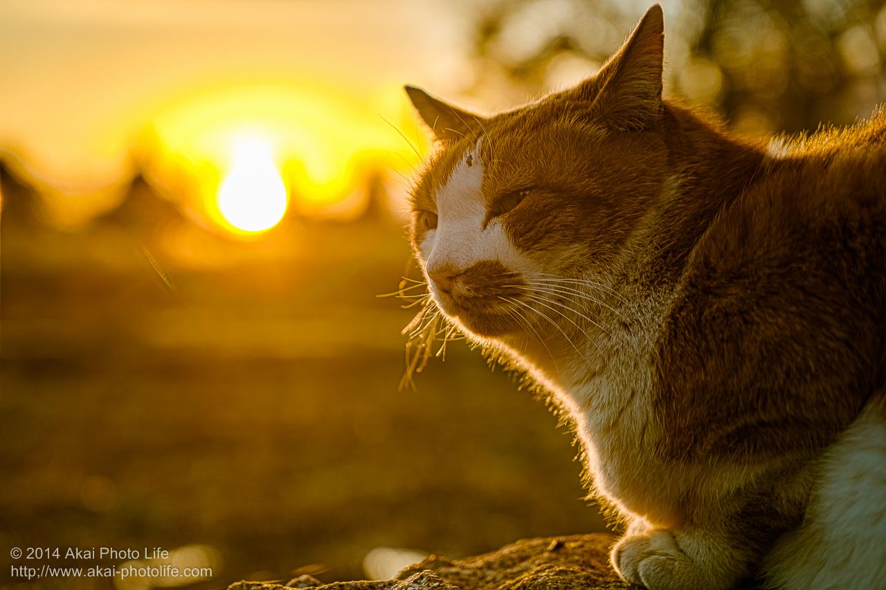 夕日を眺めていた野良猫の写真