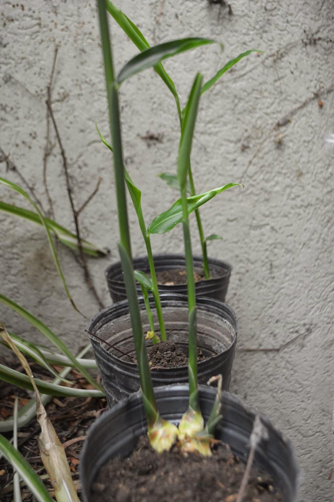 Cultivo de jengibre en maceta