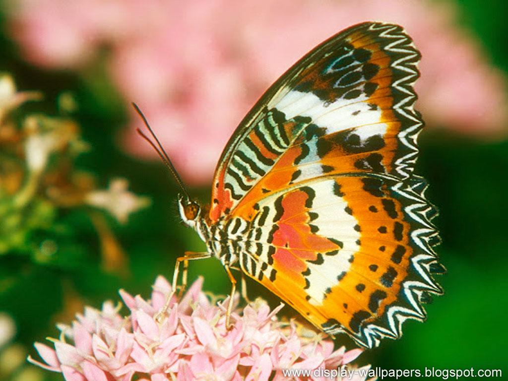 http://1.bp.blogspot.com/-K0XiVDPb_MU/UJjqGuP-mpI/AAAAAAAAETQ/4aJgR85xkeE/s1600/Butterfuly-Desktop-Wallpaper-HD-8.jpg