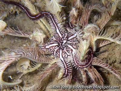 Brittle Star(Ophiomaza cacaotica)