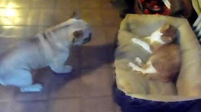 Frankie the french bulldog wants his bed back