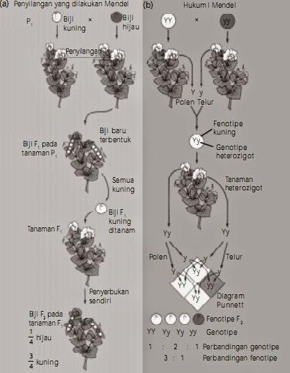 (a) Langkah-langkah penyilangan yang dilakukan Mendel. (b) Kesimpulan yang didapat oleh Mendel