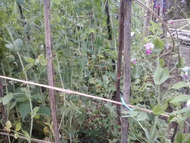 tanaman sayur kacang kapri