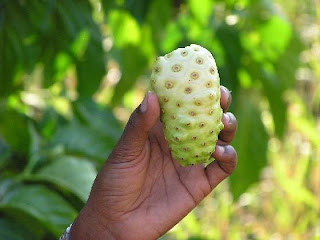 Noni fruit has been used as an herb in the past by using fresh and raw or half-baked