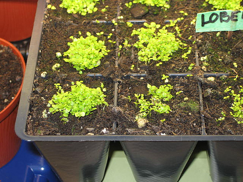 How To Grow Lobelia From Seed Garden How