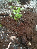 picture of new carrot plant with coffee grounds around it.