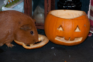 Halloween Guinea pig