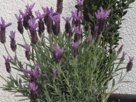 Lavendel - ungiftige Pflanzen