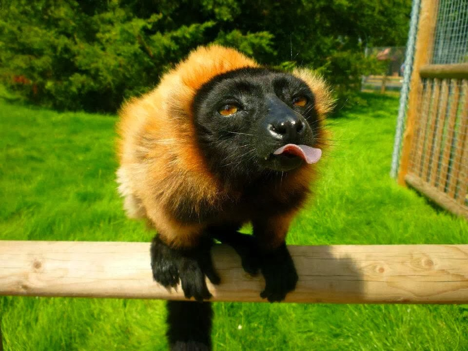 Funny animals of the week - 7 March 2014 (40 pics), funny lemur sticks its tongue out