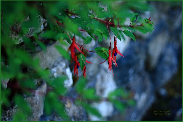 fuschia, plant, macro, wall, stones,  Summer light © Annie Japaud Photography 2013